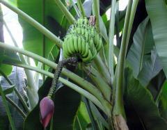 شتلات الموز