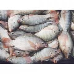 سمك بلطى بلدى البلتاجى