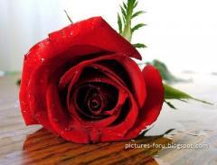 الورد البلدي