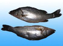 Barramundi/ Sea bass