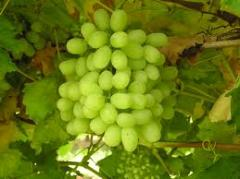 Thomson Grape