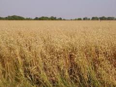 القمح الروسى