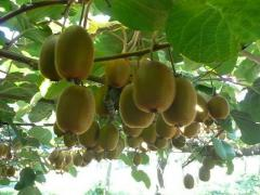 Kiwi saplings