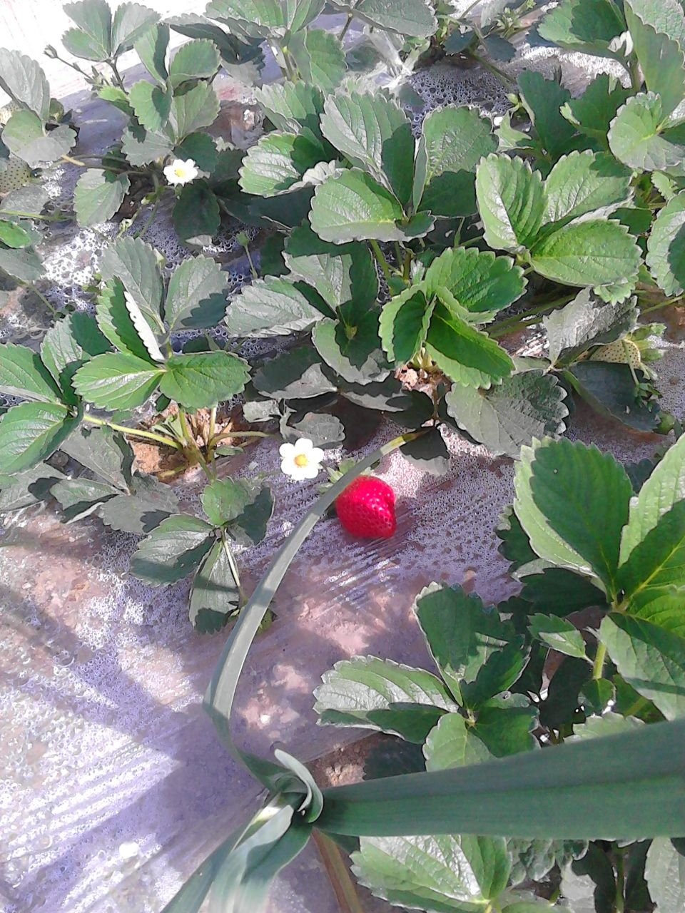 fresh_strawberry