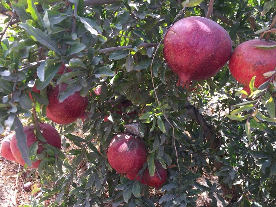 fresh_sweet_pomegranate