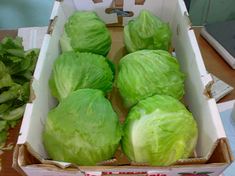 fresh_cabbage_red_white_green