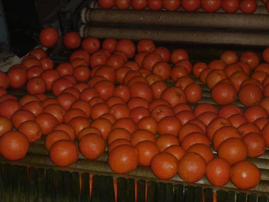 big_sizes_fresh_oranges_from_egypt_packing_8_kg_15