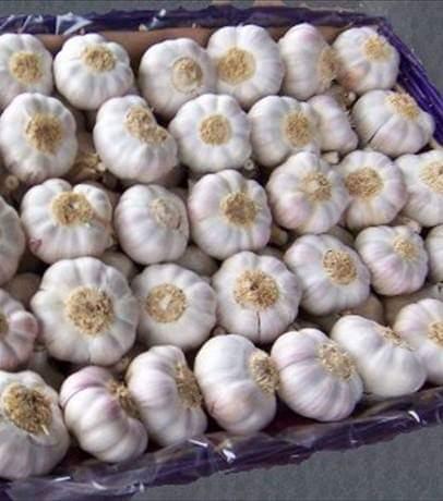 chinese_garlic_super_quality