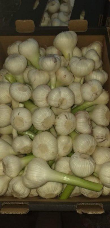 fresh_garlic_red_white_crops_2019_new_crops