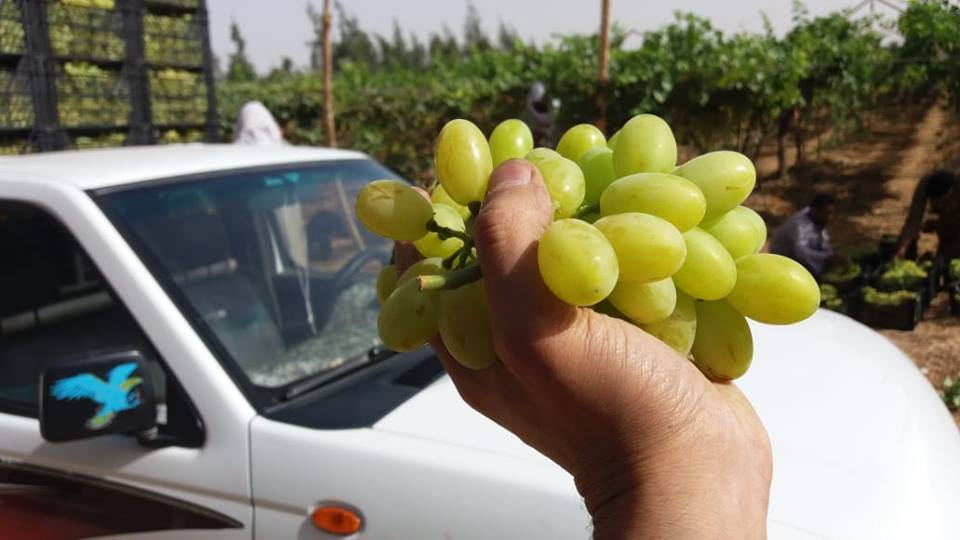 fresh_sweet_grapes_from_egypt