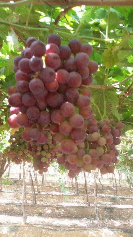 fresh_sweet_grapes_crops_2019_class_a