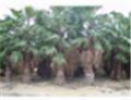 Washingtonia filefera (Palmtrees)