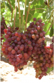 Early Sweet Grapes