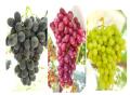 Surgaone Grapes