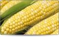 Maize - Yellow corn