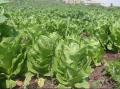 محاصيل