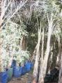 أشجار جوز الهند