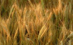 أمريكا توافق على تصدير القمح لمصر