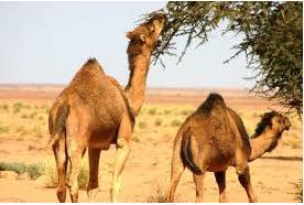 طلب الصحراء الغربيه