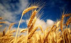 عمليات محصول القمح والشعير